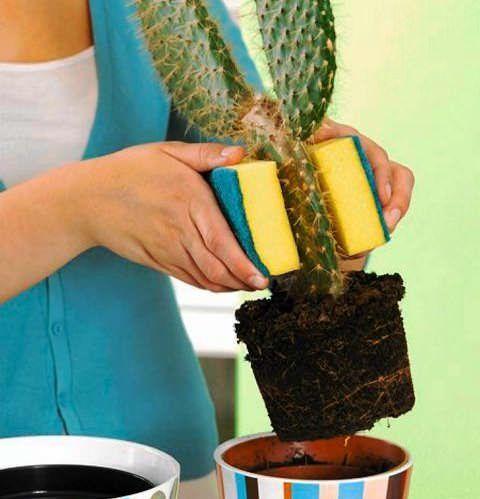 Kako presaditev kaktus doma