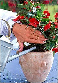 Kako v vodo sobne rastline