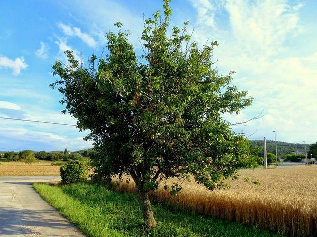 Посадка груши: весной или осенью?