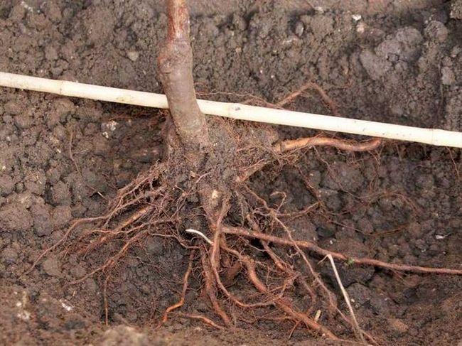 Куда посадить грушу: выбор места и подготовка ямы