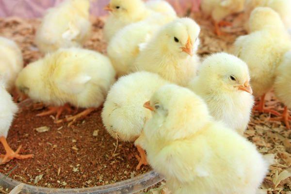 Необходимо проследить, чтобы за сутки цыплята смогли найти кормушки и корм в них, а также поилки
