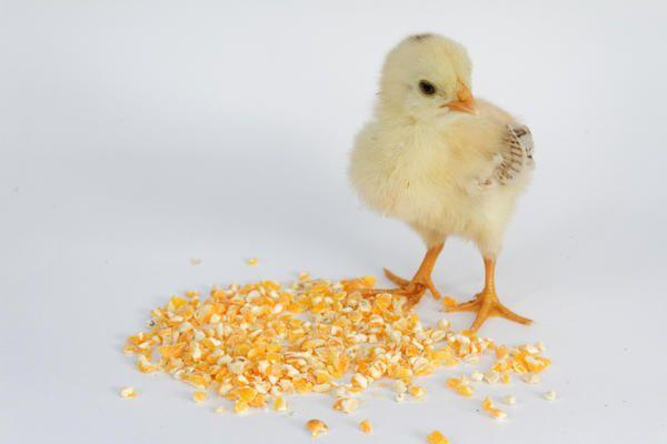 Пиле се отглежда пиле, пшеница семена, той няма да бъде в състояние да погълне