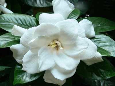 Kako pravilno skrbeti za gardenia doma