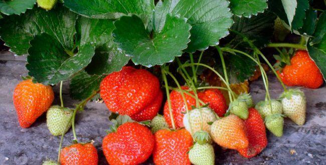 Cum să crească căpșuni în câmp deschis