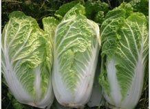 Как правильно выращивать пекинскую капусту
