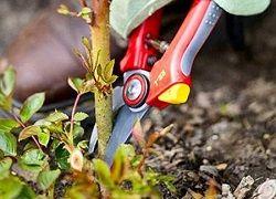 Jak provádět řezání zahradní růže na podzim?