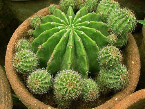 Как размножить кактус семенами, детками, черенкованием и прививкой