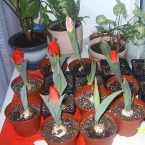 Kako posaditi tulipani doma?