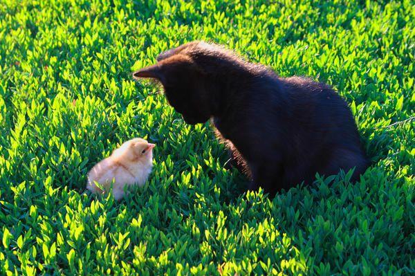 Kitten și pui. Prieteni sau dușmani?