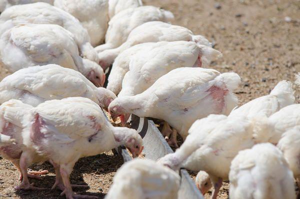 puii de găină tineri ciugulesc hrana pentru animale