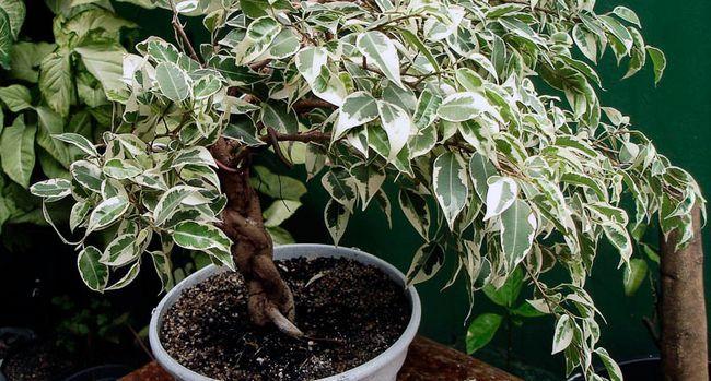 Kako oblikovati krono Ficus benjamina