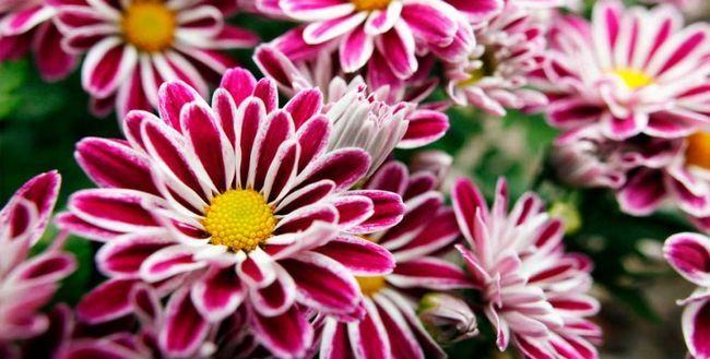 Cum de a păstra o crizantema într-o oală în timpul iernii?