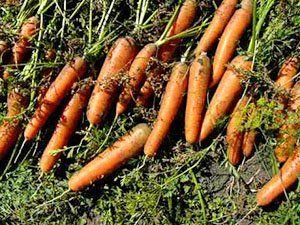 Harvest korenje za shranjevanje