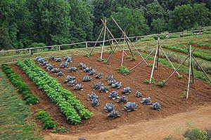 Sajenje korenje za shranjevanje