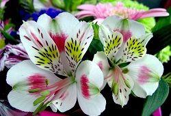 Kako ustvariti nežen šopek vrtnic in tulipanov?