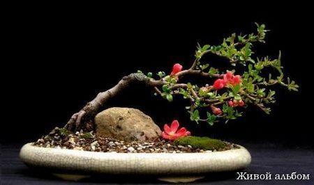 Как создать цветущий бонсай из японской айвы