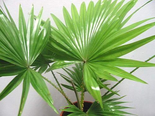 Как ухаживать за цветком пальма?