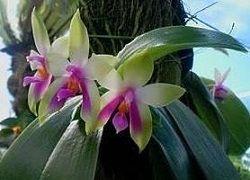 Kako skrbeti za dom Phalaenopsis orhideje?