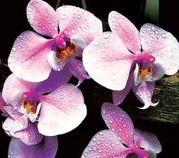Как ухаживать за домашними орхидеями?