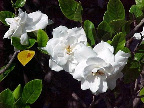 Cvetovi gardenia