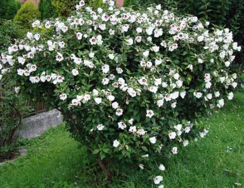 Как ухаживать за гибискусом сирийским в саду и на даче