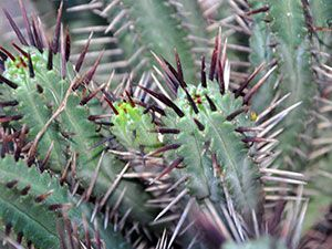 Как да се грижим за кактуси