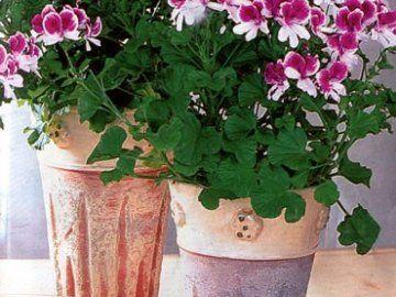Kako skrbeti za pelargonium?