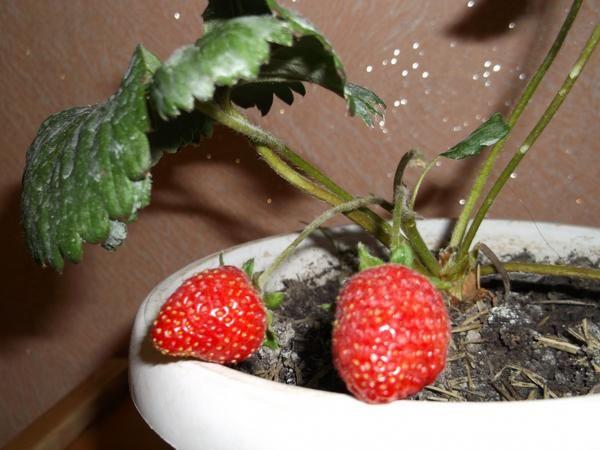 Садовая земляника сорта НСД Аиша, выращенная в комнатных условиях