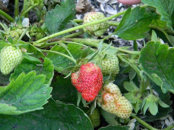 Деформация ягоды при недостаточном опылении