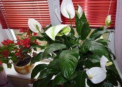 Proč ne vyrostla Spathiphyllum květu?