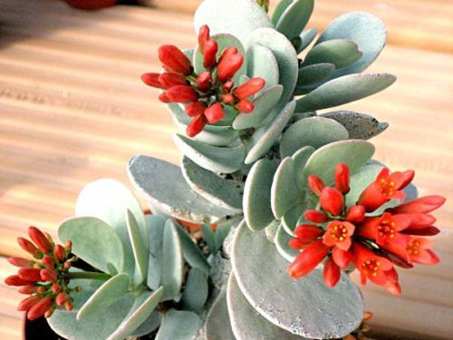 Как выращивать каланхоэ декоративный