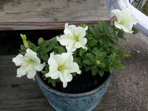 Jak pěstovat sazenice semena květin?