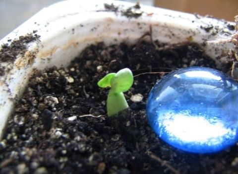 Проклюнувшийся росток адениума Фото