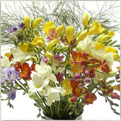 Как вырастить цветы фрезии