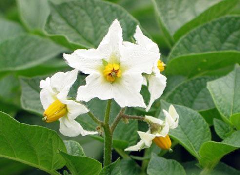 Картофель, цветение, Solanum tuberosum