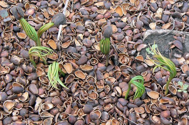 Gojenje cedre pinjole