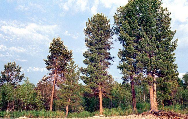 cedra drevo