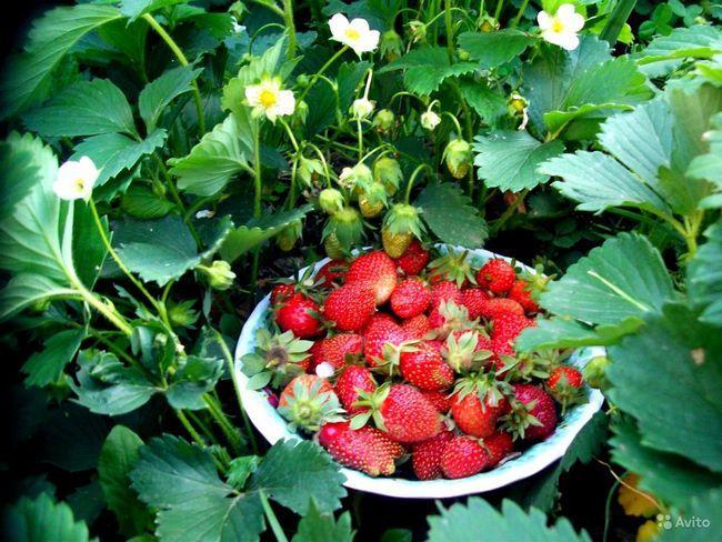 sadike semena jagode