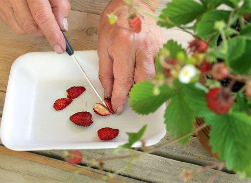 Jagode, semena prazno