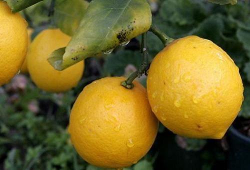 Комнатное дерево лимона
