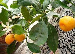 мандарины уход