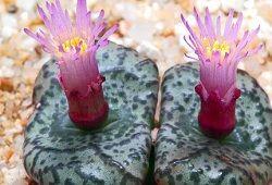 Как вырастить необычные литопсы?
