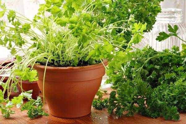 Kako rastejo peteršilj na okensko polico