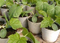 выращивание домашних огурцов