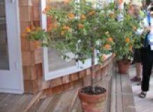 Kakšne so nizki okrasni drevesa primerna za posodo?