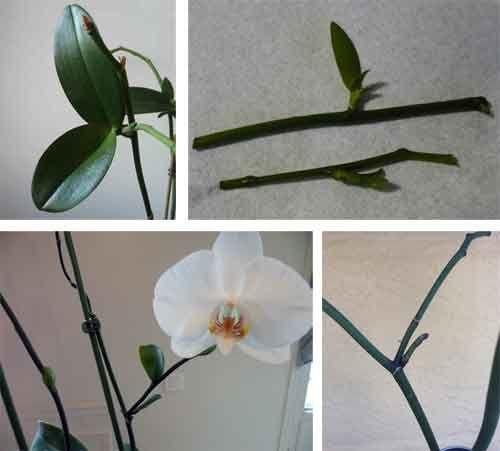 Какие виды орхидей размножаются черенками?