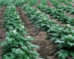 Kaj je naprava za sajenje krompirja
