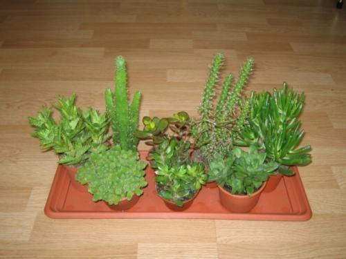 Cactus modulelor pe care le va da o înflorire în orice moment al anului
