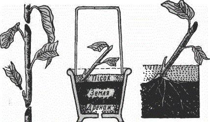 Каламондин – цитрусовый гибрид