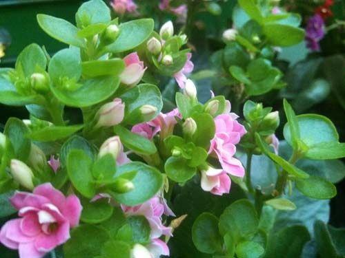 Каланхоэ блоссфельда - цветы моей мечты